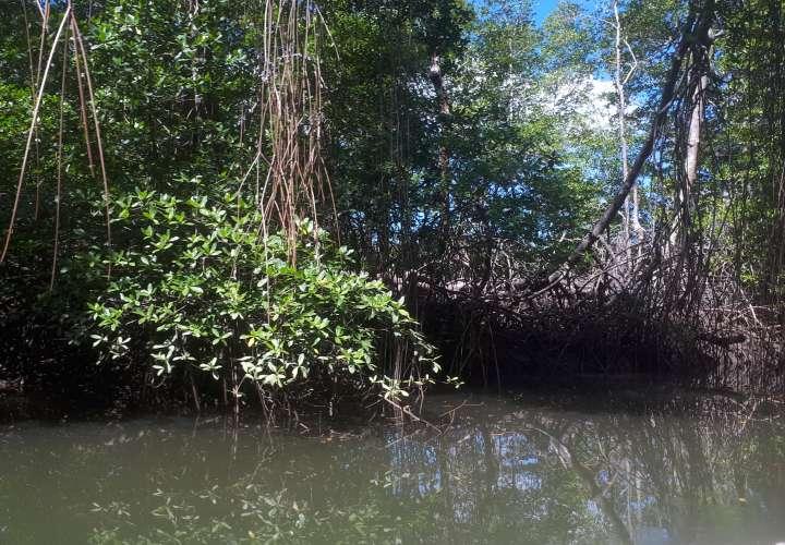 """""""Hay algo que está matando a los  árboles de mangle"""""""