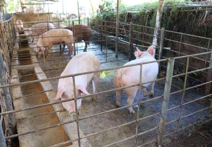 Comprarán un millón 100 mil libras de carne de cerdo para Panamá Solidario