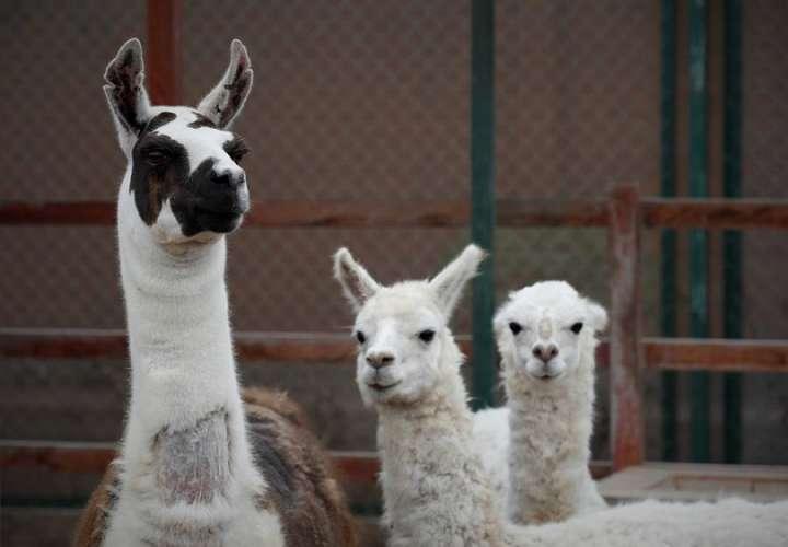 Una llama (izda), en compañía de dos alpacas. EFE-Archivo