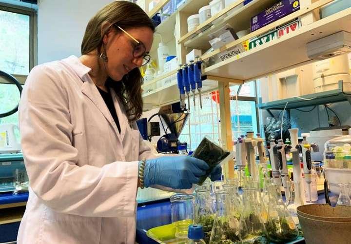 Fotografía cedida por la Universidad de Concepción, muestra a científicos que trabajan en la creación de papel bioactivo algal que busca prolongar la duración de los alimentos. EFEUniversidad de Concepción