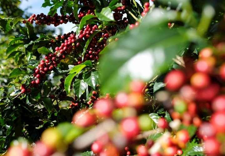 Vista de los frutos de la mata de café en Zona de los Santos (Costa Rica), en una fotografía de archivo. EFE