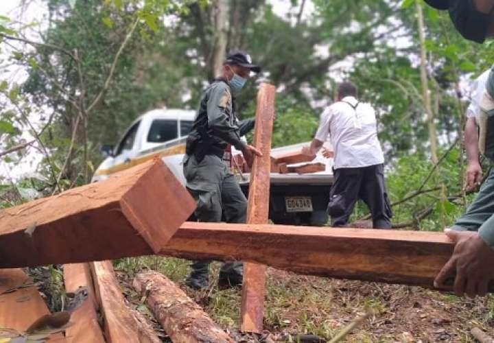 Los los técnicos ubicaron 12.83 metros cúbicos (m³.) de guachapali (Samanea saman) y 0.759 m³ de cedro amargo (Cedrela odorata).