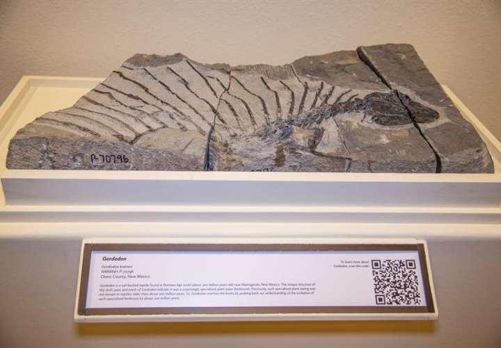 Fotografía cedida por The New Mexico Museum of Natural History & Science (NMMNHS) de un fósil del que sería el reptil herbívoro más antiguo. EFE/ NMMNHS
