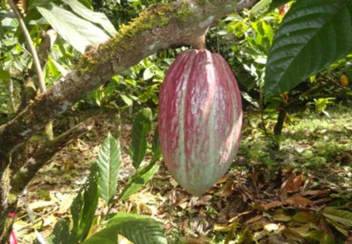 Cacao: el oro chocolate