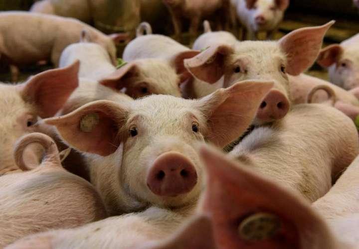 Prohíben importación de cerdo de países afectados por peste porcina