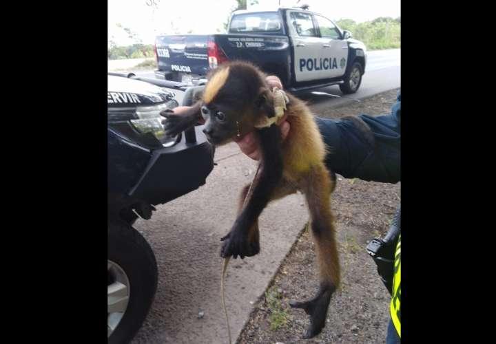 Intenta vender mono en Chiriquí, lo descubren, amenaza policías y escapa