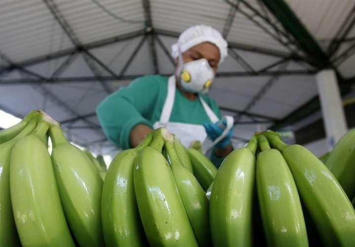 Hasta en los zapatos puede ser transportado hongo que afecta al plátano y banano
