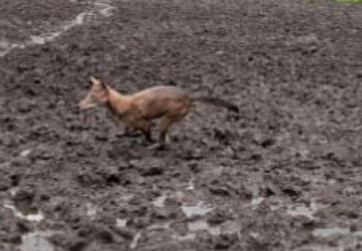 Temor en Guadalupe por ataque de coyotes