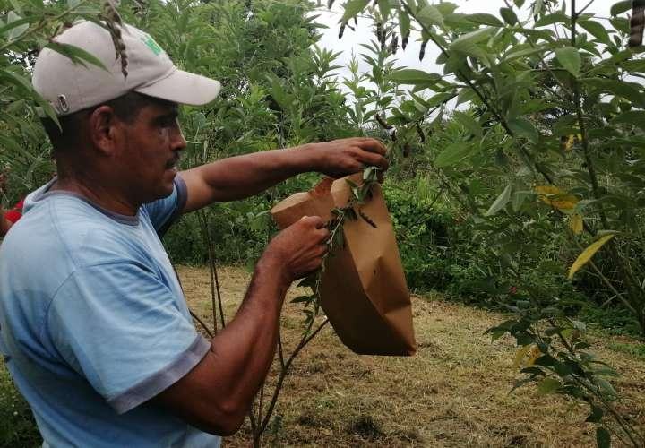 Hongo azota plantaciones de guandú en Capira