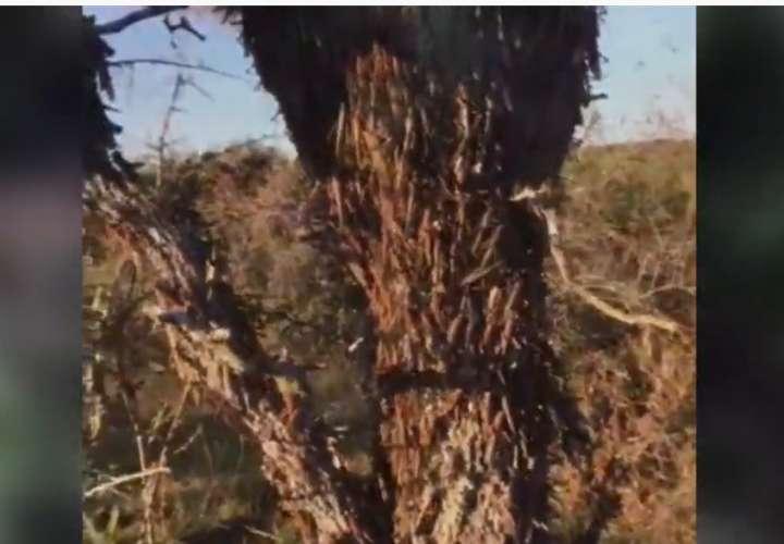 Combaten por aire y tierra la plaga de langostas (Video)