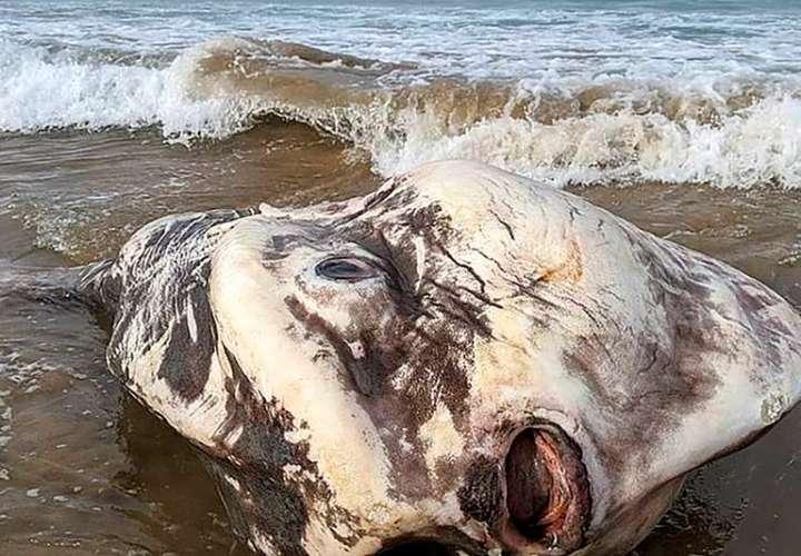 Enorme criatura marina aparece en las costas de Australia