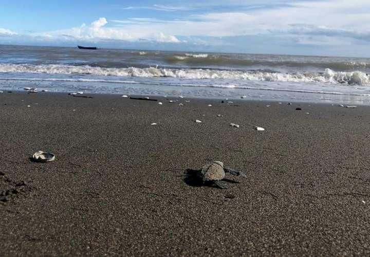 Moradores tuvieron la oportunidad de cuidar a la tortuga desde su arribo a la playa, así como en el desove y nacimiento de las crías.