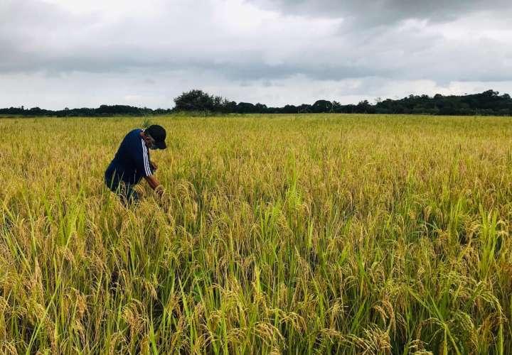 Molinos han comprando el 50% de la producción de arroz