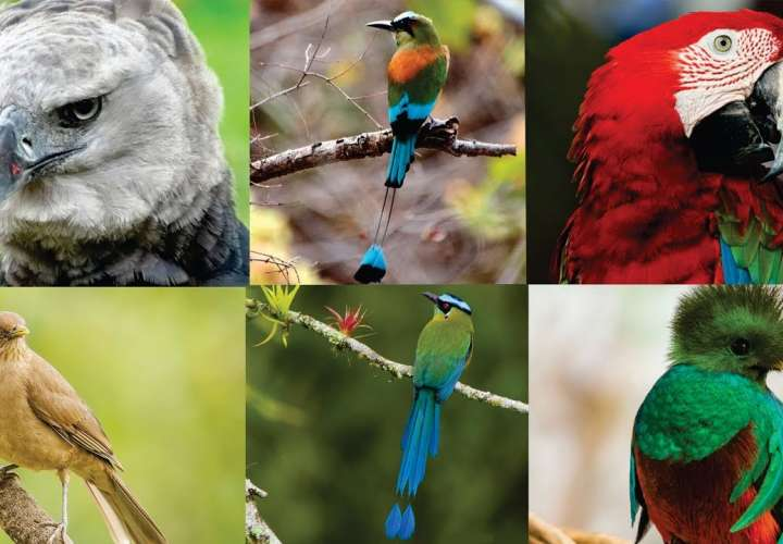 """Panamá busca ser """"líder"""" en avistamiento de aves en Centroamérica"""