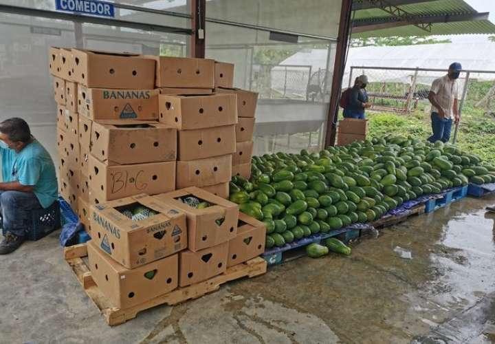 Papayas panameñas con rumbo a Canadá