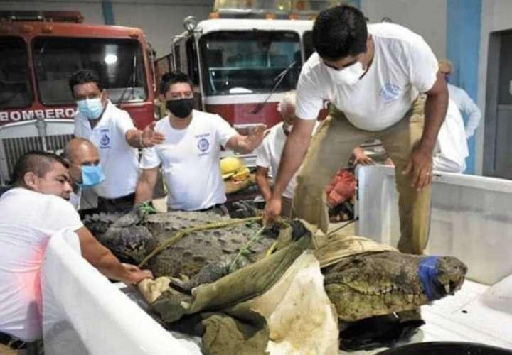 Escándalo por la liberación del cocodrilo 'Juancho'; el reptil mató a una mujer