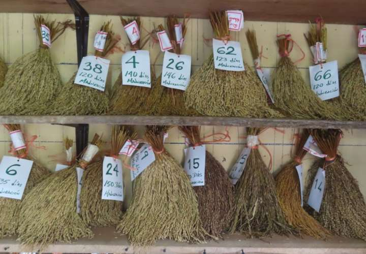Garantizan la cantidad de semillas de arroz certificada
