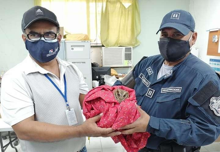 Policía Nacional y MiAmbiente rescatan a un búho pigmeo azuerense