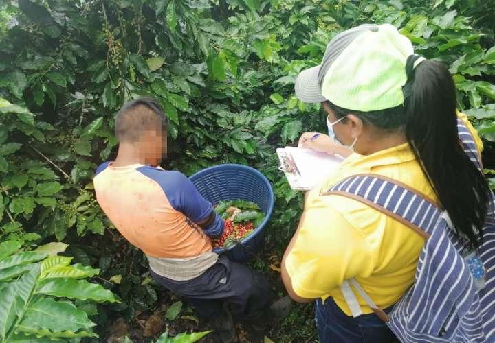 Pillan a menores trabajando en fincas cafetaleras en Chiriquí