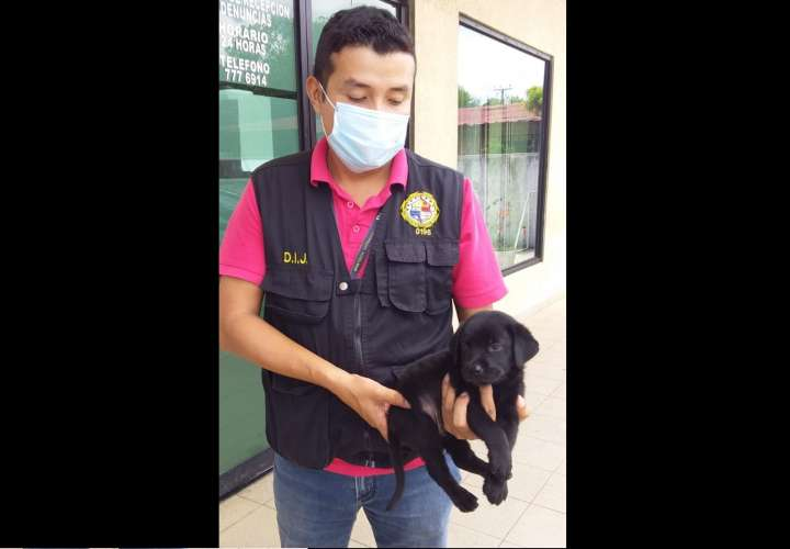 ¡Perrones! Delincuentes hurtan cachorro en Chiriquí