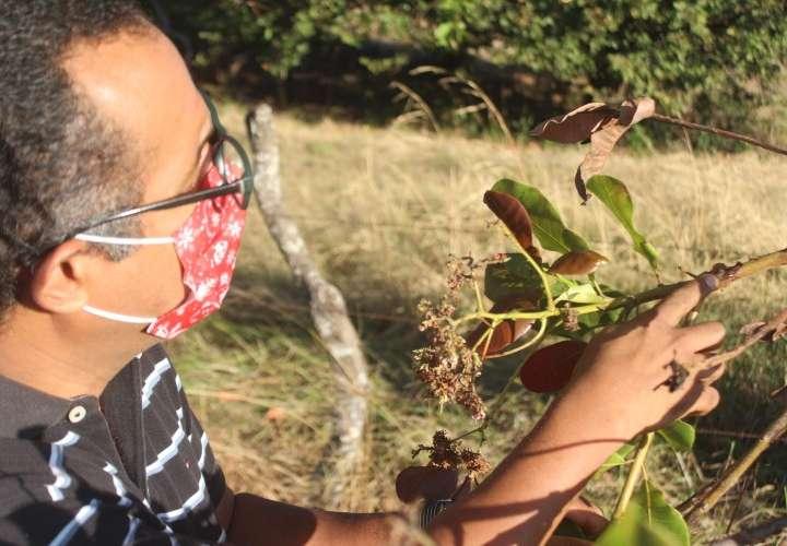 Rito Herrera examina árboles de marañón para el estudio. (Foto: Cortesía Idiap)