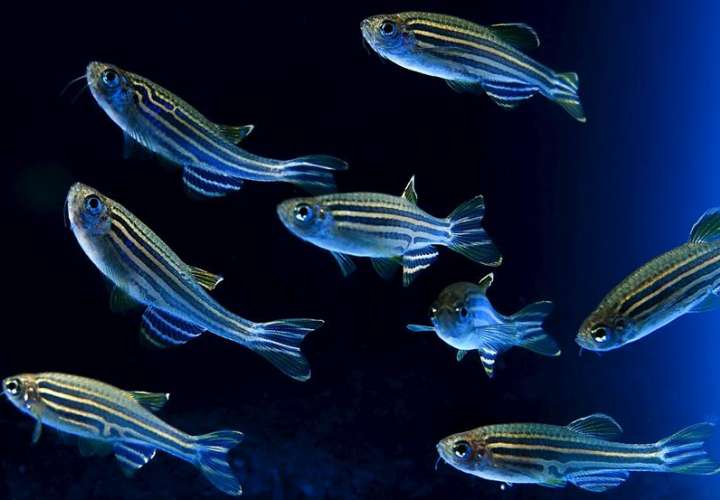 Nueva hormona sexual en los peces podría ayudar en tratamientos de fertilidad