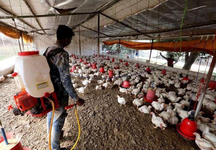 Según los últimos datos divulgados por el ministerio, 21.555 aves han sido sacrificadas en Kerala. EFE