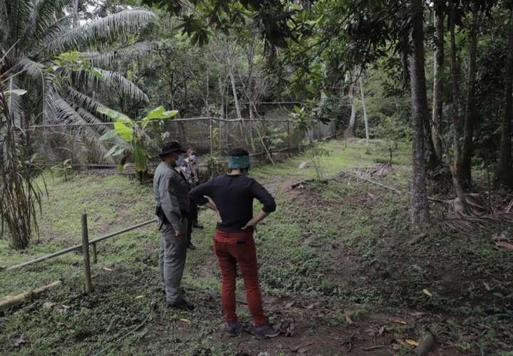 Fiscalía Anticorrupción inicia investigación por hurto de 4 puercos de monte