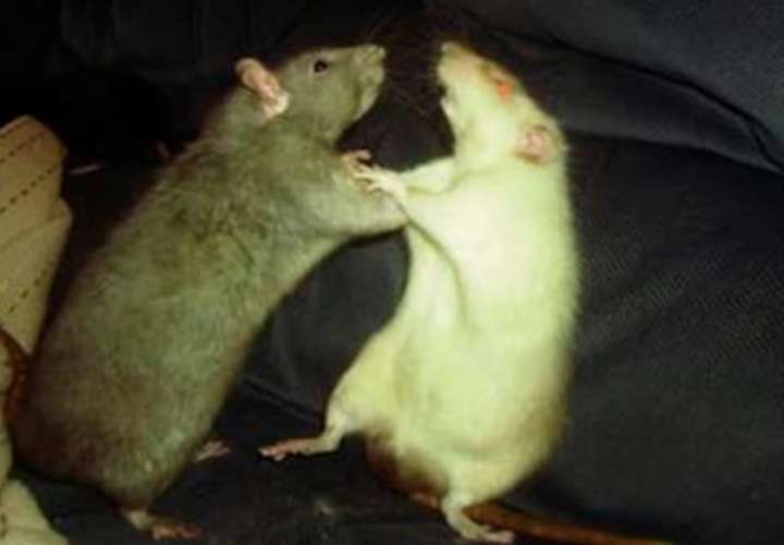 Dos ratas se embolillan frente a un gato sin temor alguno (Video)