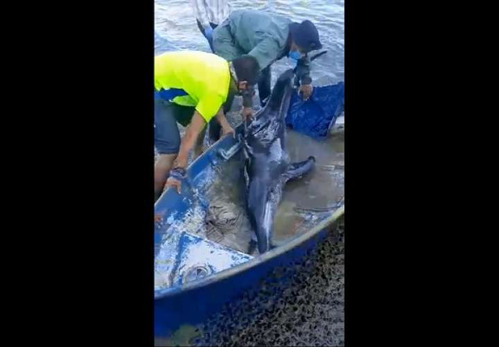 El cetáceo fue avistado por residentes del sector cinco de El Progreso.