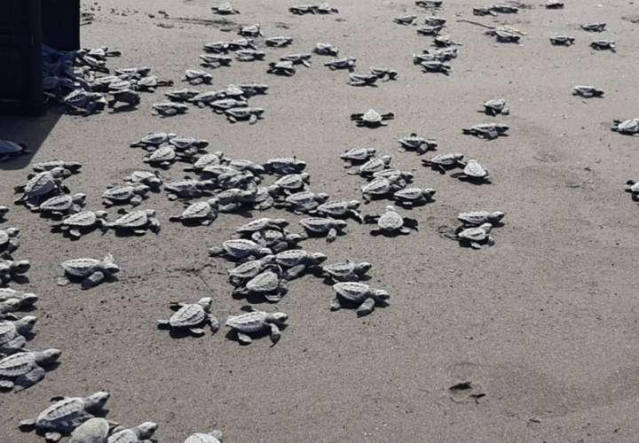 Protegen tortugas en las costas de Colón