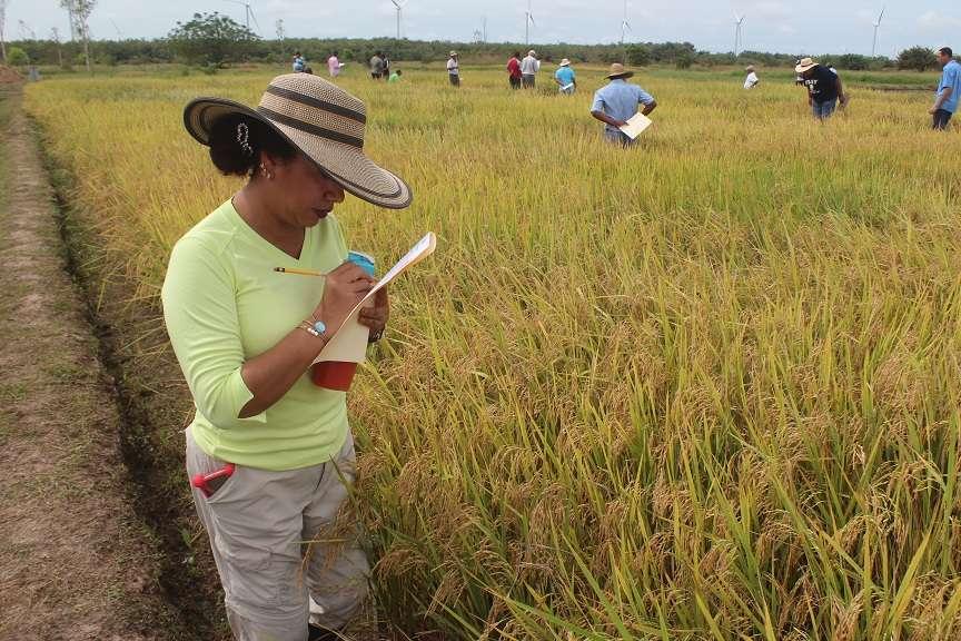 Las nuevas variedades han permitido reducir entre un 30% a 35% el uso de fungicida.