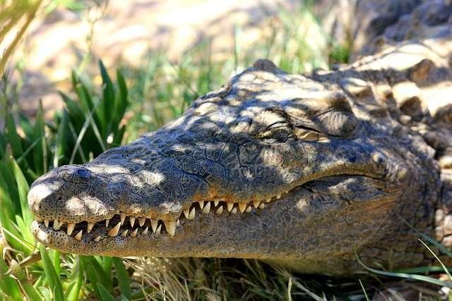 Los buscadores encontraron restos humanos en el arroyo antes de encontrar el primer cocodrilo.