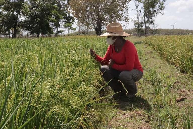 Las investigaciones están dirigidas al mejoramiento genético del arroz, resistencia a plagas y adaptación climática.