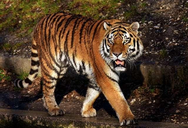 Los tigres de Sumatra son una subespecie de tigres en peligro de extinción. / Foto: Ilustrativa Pixabay