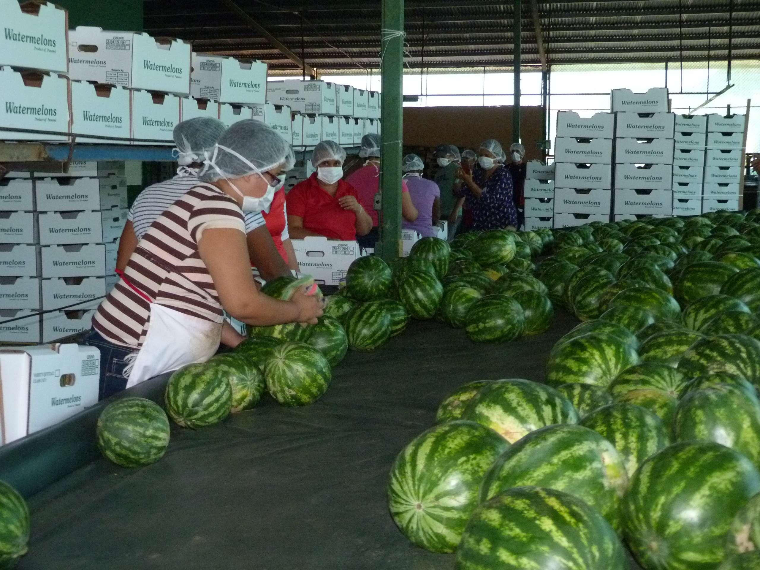 220 hectáreas de sandía tiene sembradas APSECU para la comercialización de la fruta.