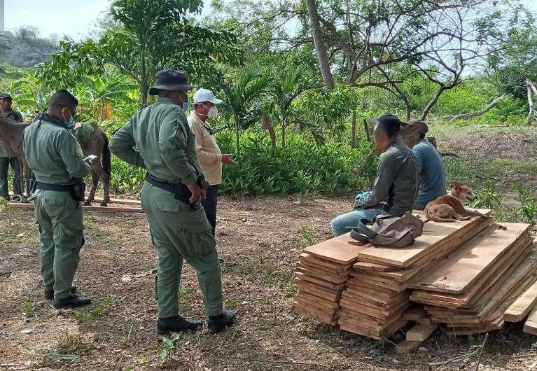 La madera corresponde a dos árboles de las especies Panamá y Laurel.