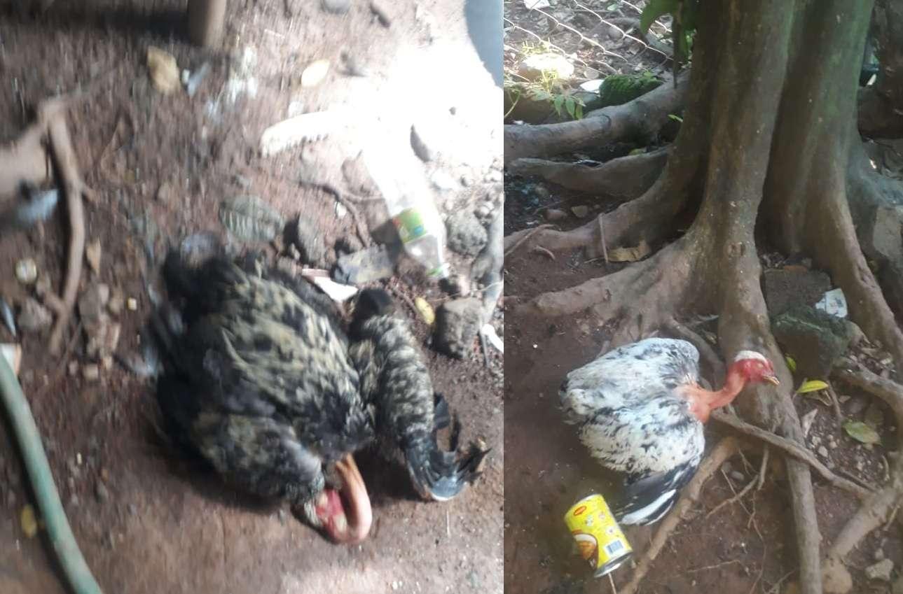 En solo tres días han muerto 50 gallinas