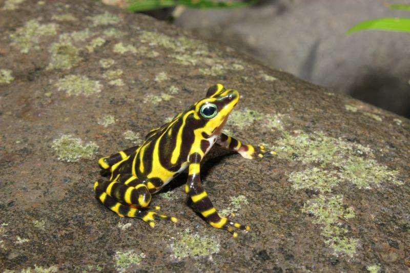 Imagen de la Rana arlequín fronterizo, nueva especie registrada en Panamá.